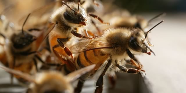 Close up view of honey bees in their hive