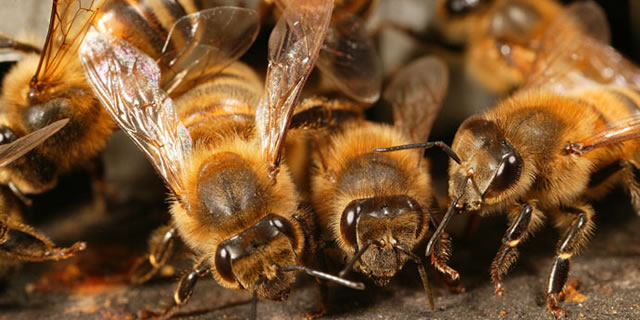 Honey bees' antennae play an important role in bee communication.