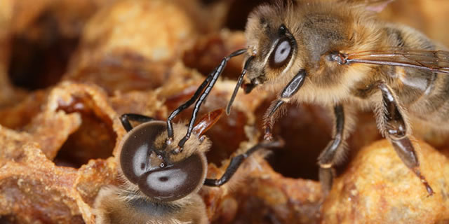 A bee greets a drone as it is being born.