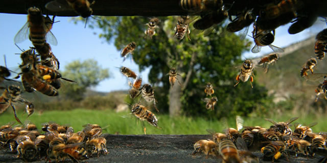 Honey bees on the flight board